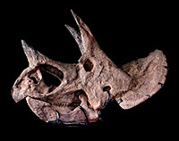 View the Dinosaur Institute Collections